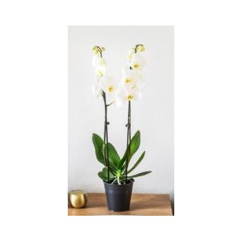 Tarbes flowers  -  White Elegance Flower Delivery