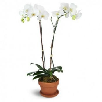 Bahia Dorada flowers  -  Pure White Flower Delivery