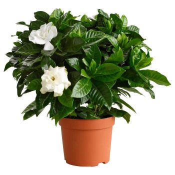 Udhaybah flowers  -  White Fragrance Flower Delivery