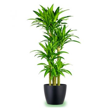Al Qurum Heights Fleuriste en ligne - Dracena Massangeana Bouquet