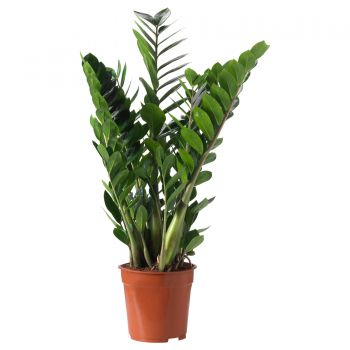 Al Qurum Heights blomster- Zamioculcas Zamiifolia Blomst Levering