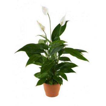 Al Qurum Heights Fleuriste en ligne - Spathiphyllum Bouquet