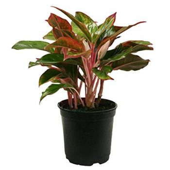 Al Qurum Heights Florarie online - Aglaonema Buchet