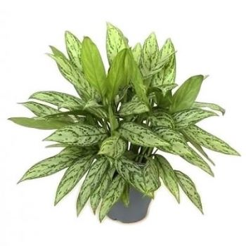 Mina Qaboos flowers  -  Aglaonema Silver Queen Flower Delivery
