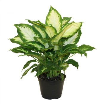 Al Qurum Heights Fleuriste en ligne - Dieffenbachia Bouquet