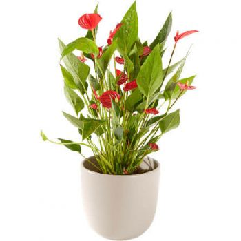 Woerden flowers  -  Anthurium including pot Flower Delivery