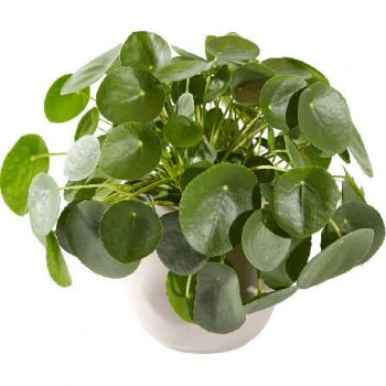 Abbega flowers  -  Pancake plant including pot Flower Delivery